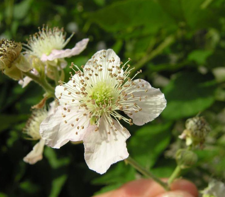 Flower-of-Elm-leaf-blackberry