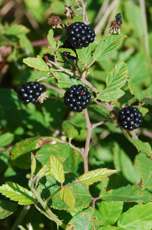 Mature-fruits-of-Elm leaf-blackberry