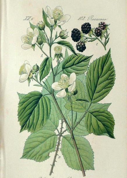Plant-Illustration-of-Elm-leaf-blackberry