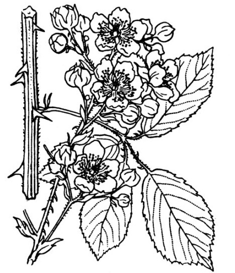 Sketch-of-Elm-leaf-blackberry
