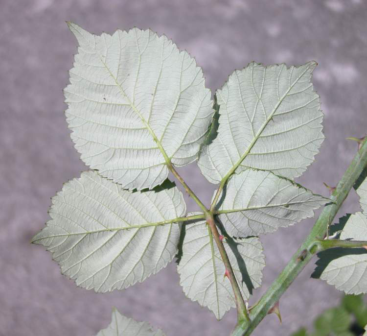 Ventral-view-of-Elm-leaf-blackberry-Leaf