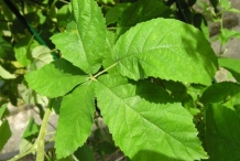Dorsal-view-of-Elm-leaf-blackberry-Leaf