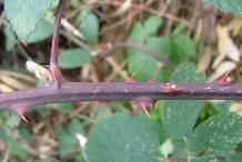 Elm-leaf-blackberry-Stem-with-thorn
