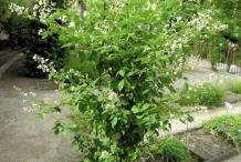 Elm-leaf-blackberry-plant