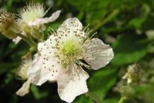 Flower-of-Elm-leaf-blackberry