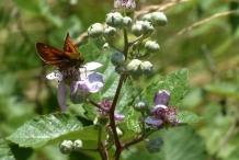 Flowering-buds-of-Elm-leaf-blackberry