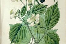 Plant-Illustration-of-Elm-leaf-blackberry