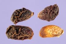 Seeds-of-Elm-leaf-blackberry
