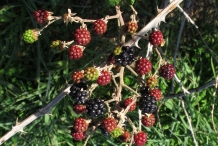 Unripe-fruits-of-Elm leaf-blackberry