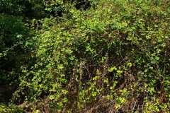 Elm-leaf-blackberry-Plant-growing-wild