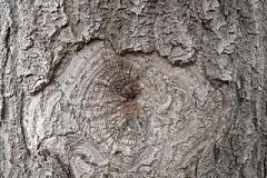 Bark-of-Empress-tree