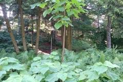 Empress-tree-growing-wild