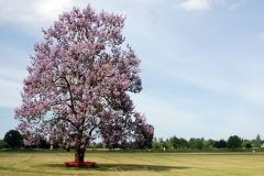 Empress-tree