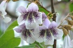 Flowers-of-Empress-tree