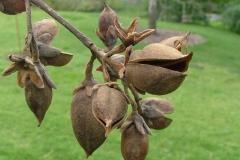 Matured-fruits-of-Empress-tree