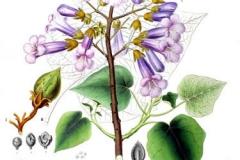 Plant-Illustration-of-Empress-tree