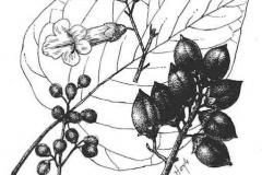 Sketch-of-Empress-tree