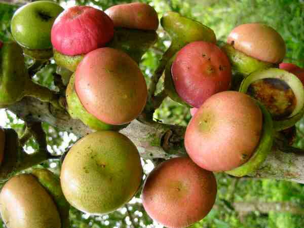 Engkala-fruit-ripened