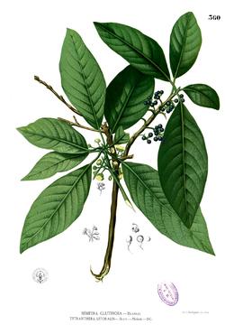 Illustration-of-Engkala-plant