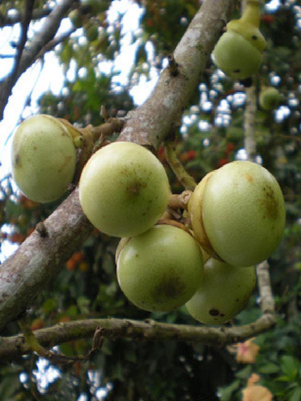 Unripe-Engkala-fruit
