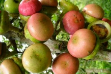Engkala-fruit-ripened