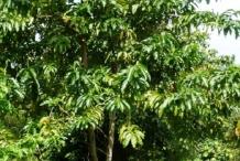 Engkala-tree