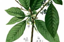 Illustration-of-Engkala-plant
