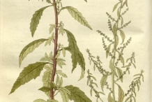 Plant-illustration-of-Epazote