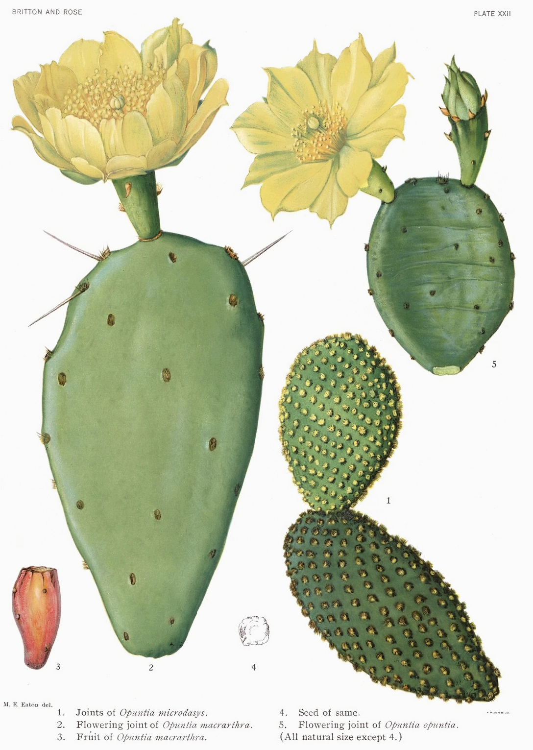 Plant-illustration-of-Erect-Prickly-Pear