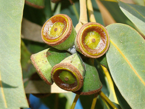 Eucalyptus-Fruit