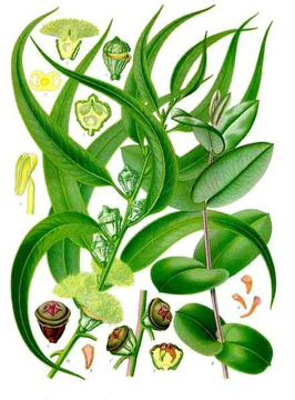 Eucalyptus-Plant-Illustration