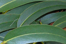 Eucalyptus-Leaves