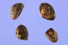 Eucalyptus-Seeds