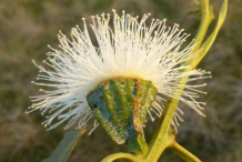 Eucalyptus--Flower