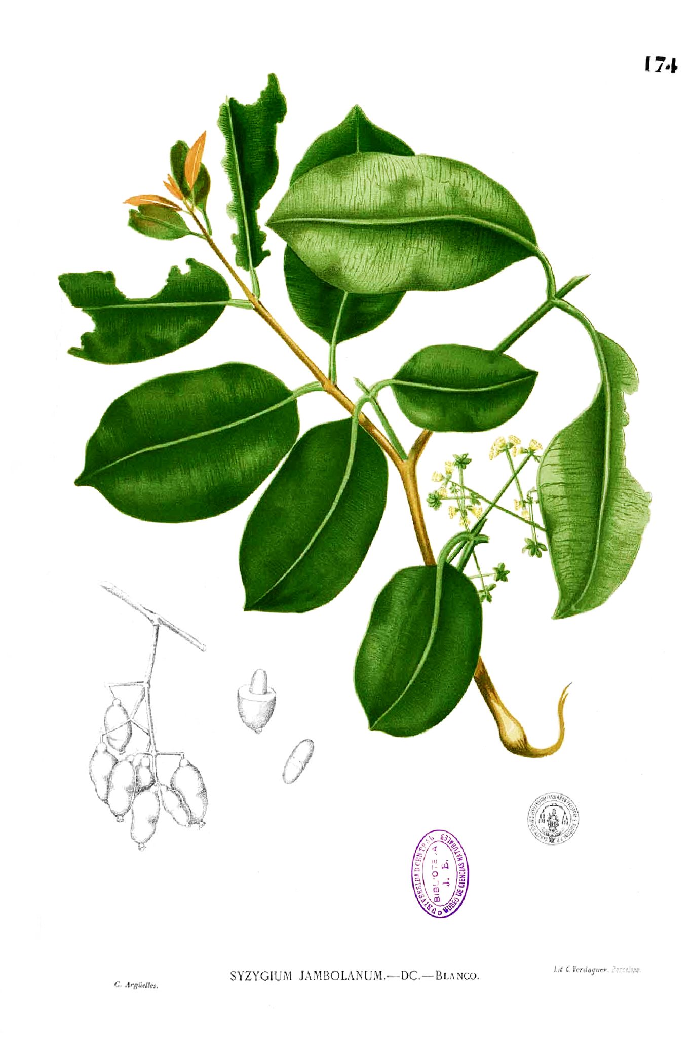Illustration-of-Eugenia-Jambolana