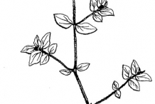 Drawing-of-Euphorbia