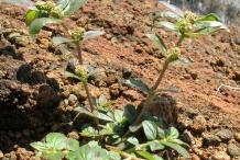 Euphorbia-plant