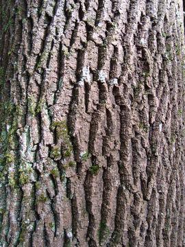 Bark-of-European-Ash