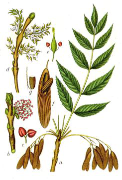 Illustration-of-European-Ash