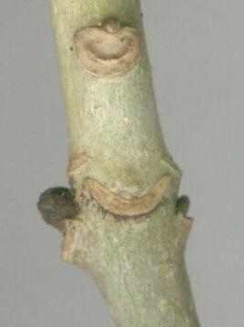 Leaf-Scar-of-European-Ash
