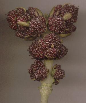 Male-flower-of-European-Ash