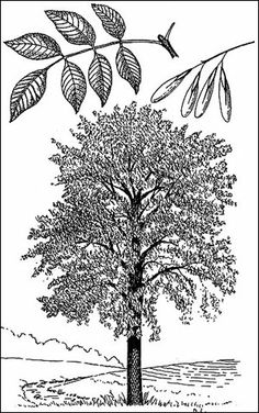 Sketch-of-European-Ash