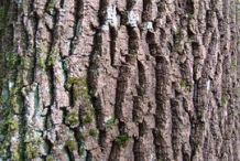 Bark-of-European-Ash