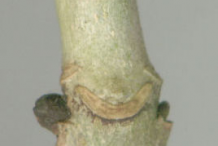 Leaf-Scar-of-European-Ash