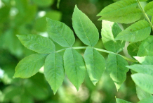 Leaf-of-European-Ash
