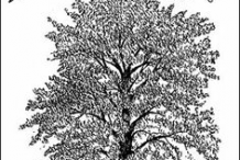 Sketch-of-European-Ash
