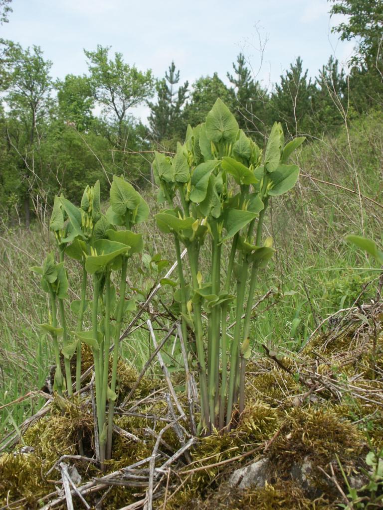 European-Birthwort-plant-growing-Wild