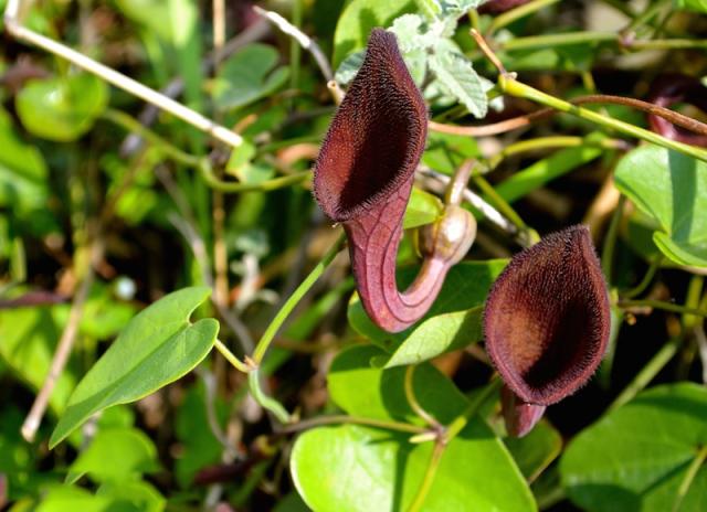 Other-Varieties-of-Birthwort