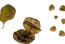 Dried-fruit-and-Seeds-of-European-Birthwort