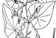 European-Birthwort-plant-Sketch